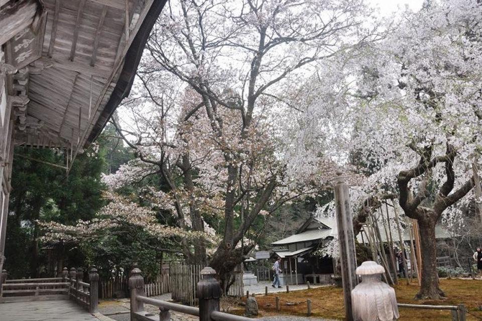 常照皇寺と左近桜