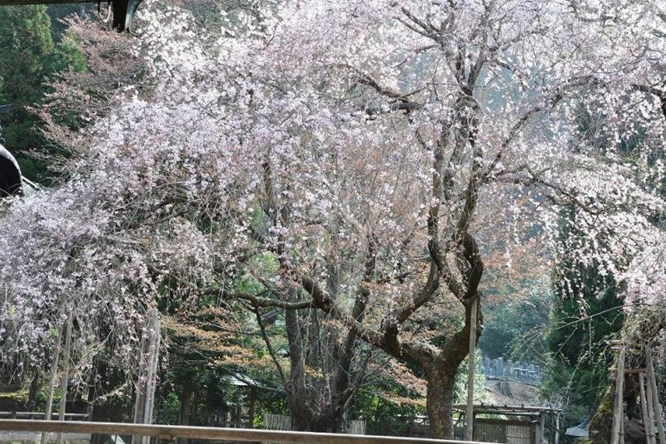 常照皇寺の九重しだれ桜
