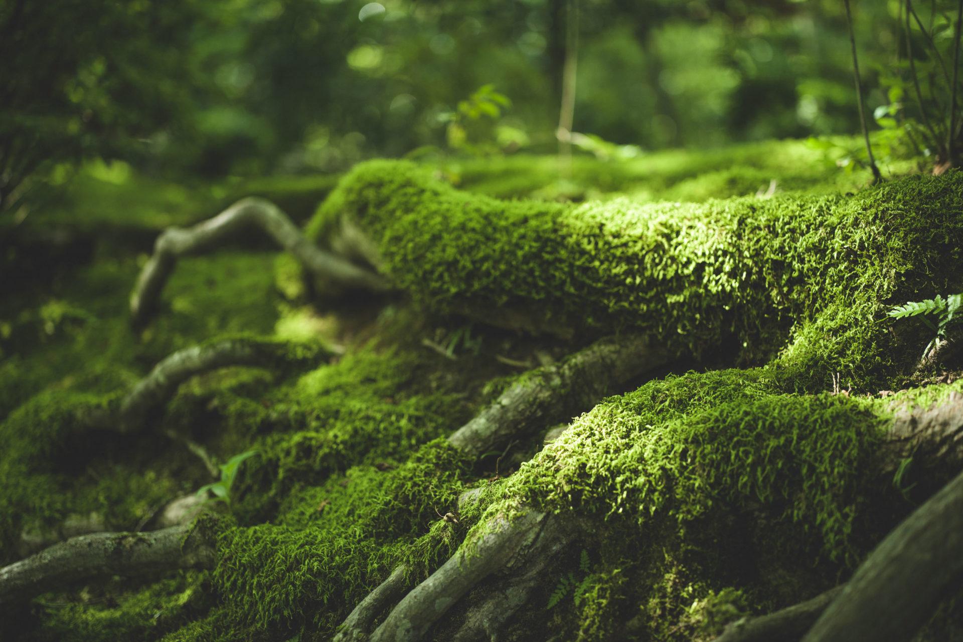 京都大原三千院の苔