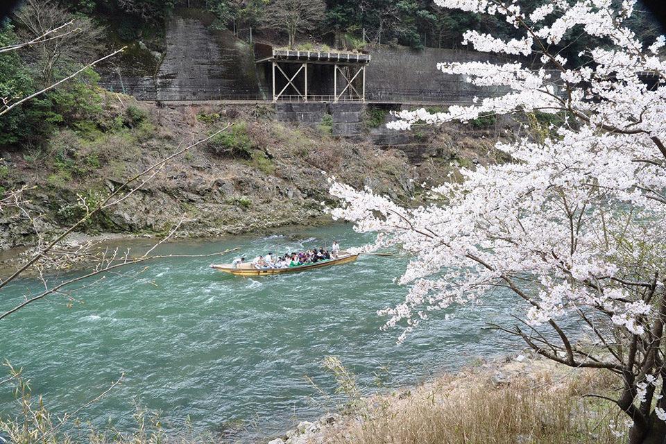 嵯峨野トロッコ列車_桜