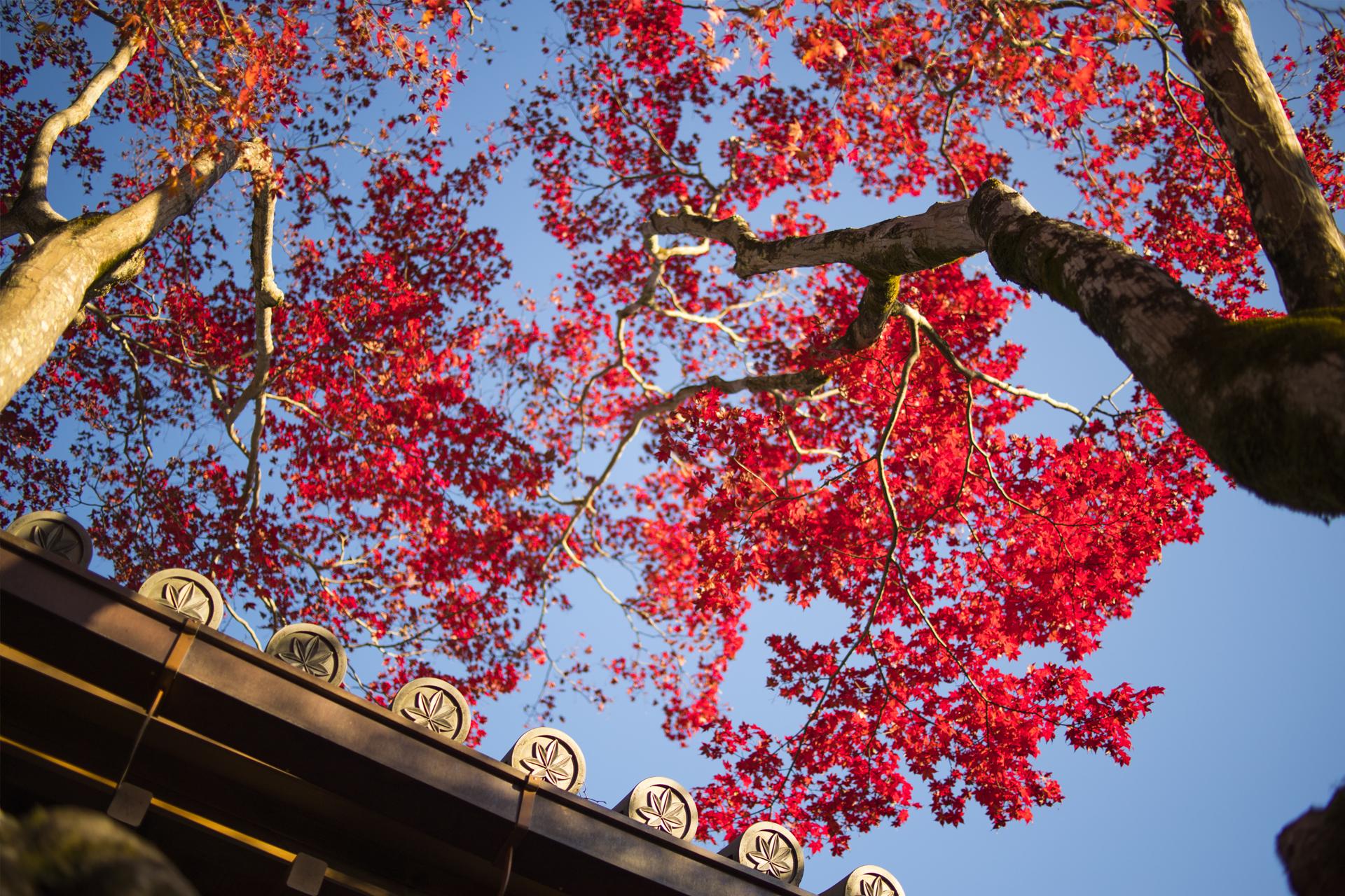 京都紅葉の朝
