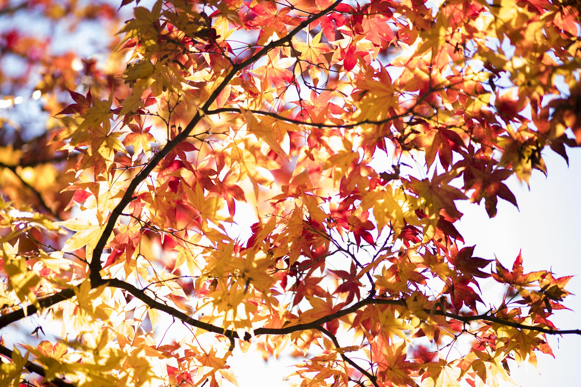京都紅葉の夕方